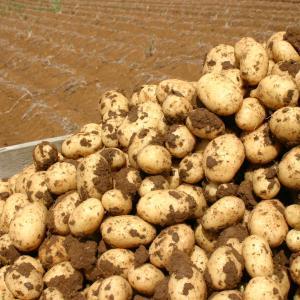 Ako sadiť zemiaky krok po kroku