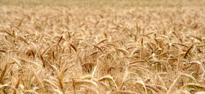 Pšenica a jej zlatá farba